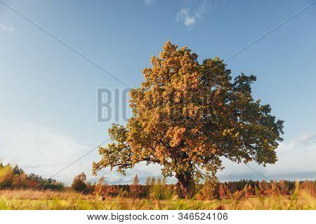oak tree with yellow foliage at sunny autumn day