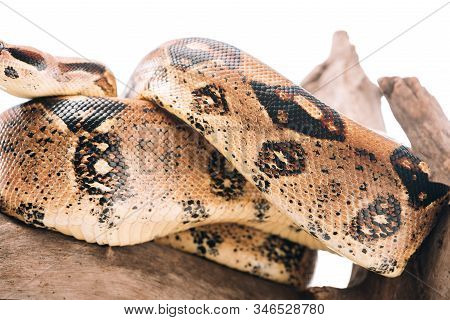 Selective Focus Of Pattern On Python Snakeskin On Snag Isolated On White