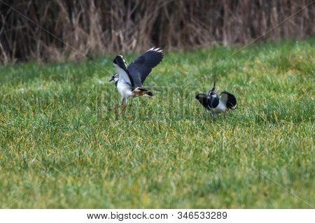 Lapwing (vanellus Vanellus)