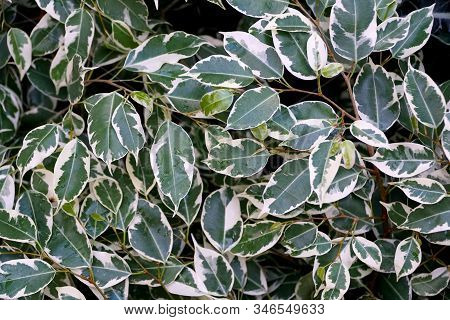 Beautiful White And Green Foliage Of Weeping Fig Variegata Tropical Plant