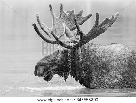 Wild Moose Living In The Forests Of The Colorado Rocky Mountains. Monochrome Treatment Of A Bull Moo