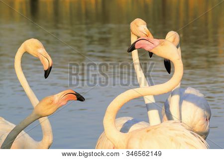 Flock Of Flamingos Fighting In Camargue, France