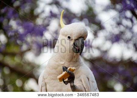 Sulphur-crested Cockatoo Eating Bread With Beautiful Blooming Jacaranda Tree On Background.