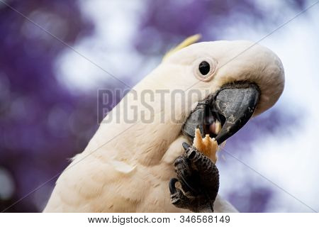 Sulphur-crested Cockatoo Eating Bread With Beautiful Blooming Jacaranda Tree On Background. Close Up
