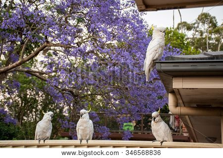 Sulphur-crested Cockatoos Seating On A Fence With Beautiful Blooming Jacaranda Tree On Background. U
