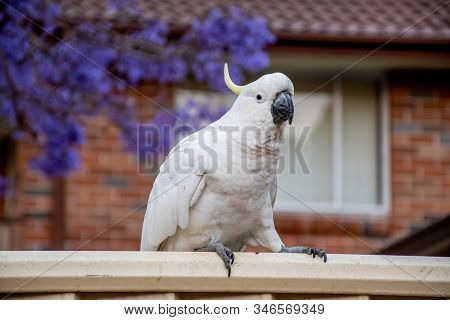 Sulphur-crested Cockatoo Seating On A Fence With Beautiful Blooming Jacaranda Tree On Background. Ur