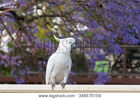 Sulphur-crested Cockatoo Sitting On A Fence With Beautiful Blooming Jacaranda Tree On Background. Ur
