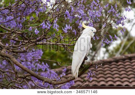 Sulphur-crested Cockatoo Sitting On A Beautiful Blooming Jacaranda Tree.