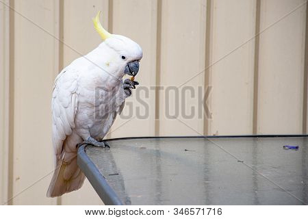 Curious Sulphur-crested Cockatoo Sitting On The Glass Table And Eating A Piece Of Bread