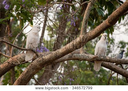 Sulphur-crested Cockatoos Sitting On A Branch Of Jacaranda Tree