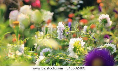 Panicled Aster Or Symphyotrichum Lanceolatum Or Tall White Aster Or Eastern Line Aster Or Lance Leaf