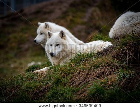The Arctic Wolf (canis Lupus Arctos), Also Known As The White Wolf Or Polar Wolf