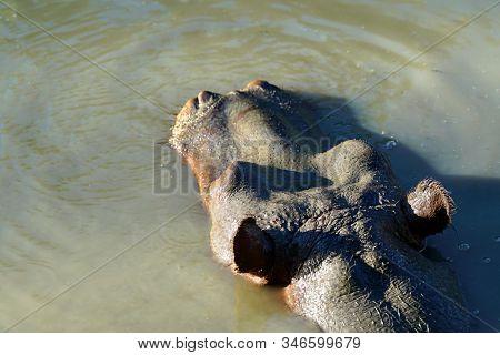 wild hippopotamus in nature swimming in water