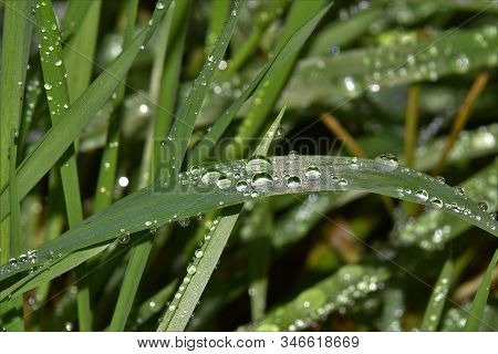 Shiny Waterdrops On Grees Grass Halm Close Up