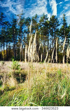 Vertical Photo With Several Grass Stems. Grass Is Dry And Has Nice Golden Color. Grass Grows On Mead