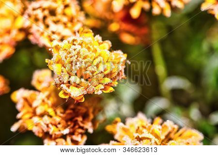 Horizontal Photo With Detail Of Vibrant Orange Bloom Which Is Fully Covered By Frost. Ice Is Visible