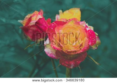 A Beautiful Two-tone Rose Grows In The Garden. Close Up. Sort Of Empress Farah. Copy Space