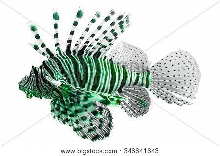Tropical Coral Fish Lion Fish Isolated On White Background