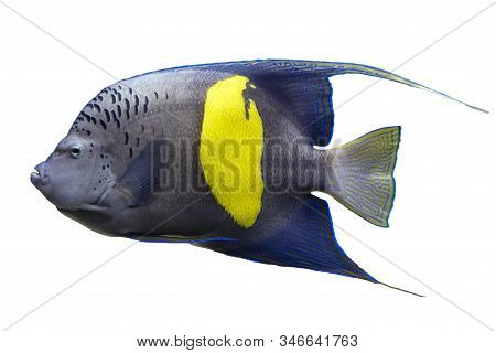 Tropical Coral Fish Yellowband  Angelfish  Pomacanthus Maculosus Isolated On White Background