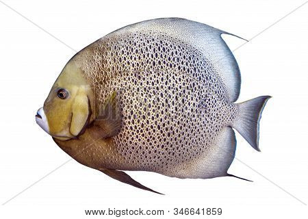Tropical Coral Fish Grey Angelfish Isolated On White Background