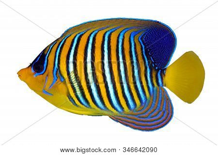 Tropical Coral Fish Angel Fish, Royal Angelfish, Pygoplites Diacanthus Isolated On White Background