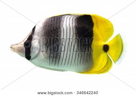 Tropical Coral Fish Double-saddle Butterflyfish - Chaetodon Ulietensis  Isolated On White Background