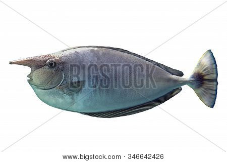 Tropical Coral Fish Unicorn Fish Spotted  Isolated On White Background