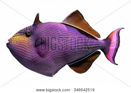 Tropical Coral Fish Red-toothed Triggerfish - Odonus Niger Isolated On White Background