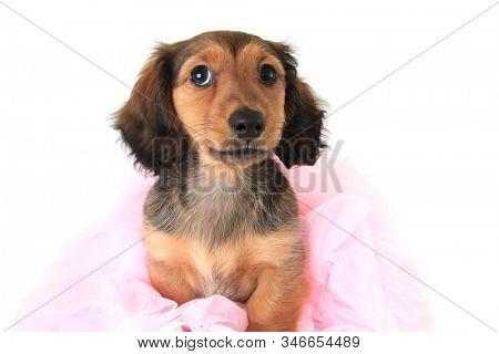 Longhaired dachshund puppy wearing a pink ballerina tutu