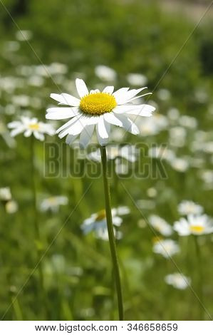 White And Yellow Flowers Against The Background Of May Green Grasses. Meadow With Blooming Oxeye Dai