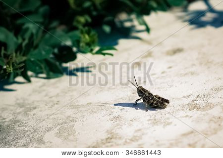 Grasshopper On A Background Of Green Grass Close-up. A Large Grasshopper Basking In The Sun, Sitting