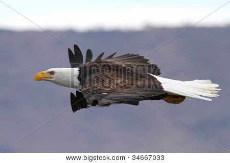 An American Bald Eagle In Flight At Eye Level