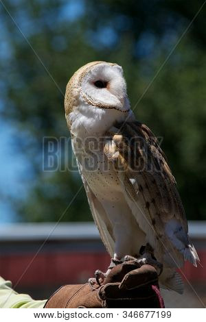 Profile Of A Rescued Barn Owl, Tyto Alba, Looking Backwards, Perched On The Hand Of Its Caretaker At