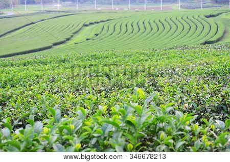 Fresh Green Tea Plantation In Chiang-rai, Thailand, Agriculture And Natural Background Concept, Sele