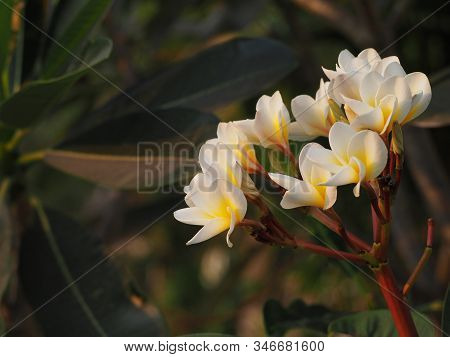 Beautiful Plumeria Rubra Flowers On Background.white Plumeria Flowers. Plumeria Flowers Bloom On The