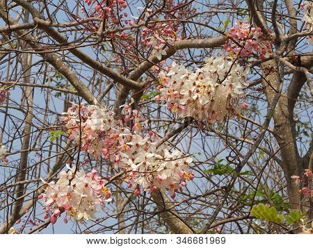 Beautiful Plenty Cassia Bakeriana Craib Flower.pink Flower Of Wishing Tree, Pink Shower, Cassia Bake