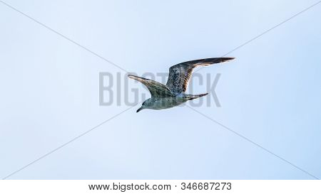 Sea Gull In The Clear Blue Sky. The Great Black-backed Gull Flying, Larus Marinus, In Blue Clear Sky