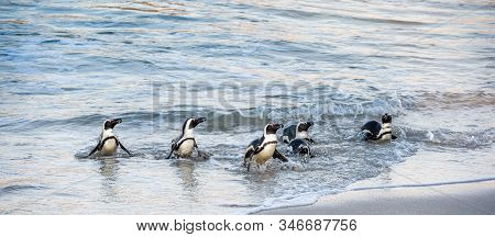 African Penguins Walk Out Of The Ocean To The Sandy Beach. African Penguin Also Known As The Jackass