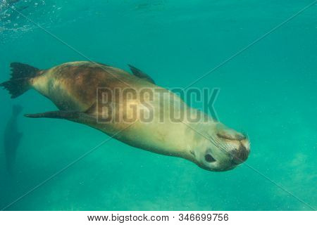 Australian Sea Lion swimming underwater