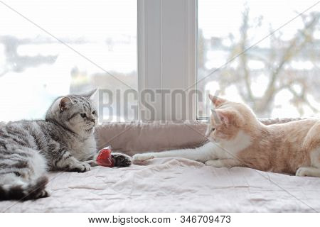 The Cat Takes The Candy From Another Cat. The Concept Of Unrequited Love