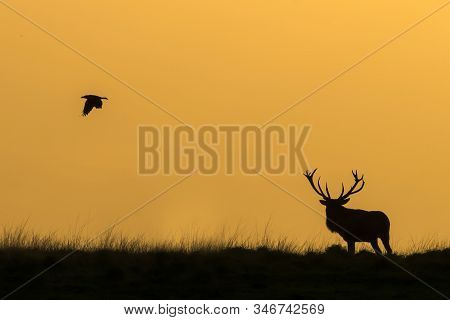 Silhouette Of A Red Deer (cervus Elaphus) Stag In Rutting Season With A Raven On The Field Of Nation