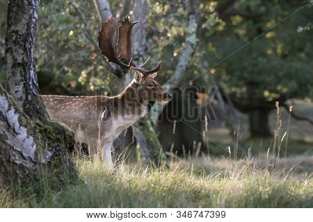 Fallow Deer (dama Dama) In Rutting Season In  The Forest Of Amsterdamse Waterleidingduinen In The Ne