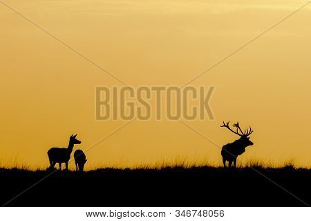 Silhouette Of A Red Deer (cervus Elaphus) Stag With Two Female Red Deer In Rutting Season On The Fie