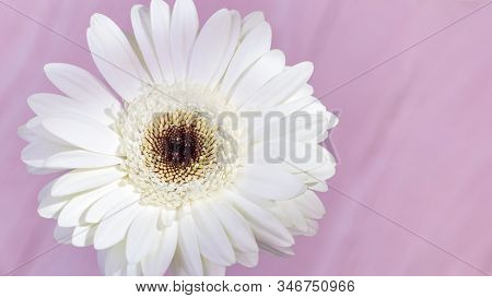 Natural Flowery Background With Beautiful White Gerbera Flower Close Up. Gentle Petals On Pink Backd