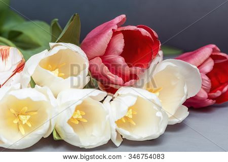 Spring Delicate Flowers White And Red Colored, Bouquet Of Tulips On Table. Natural Flowery Backgroun