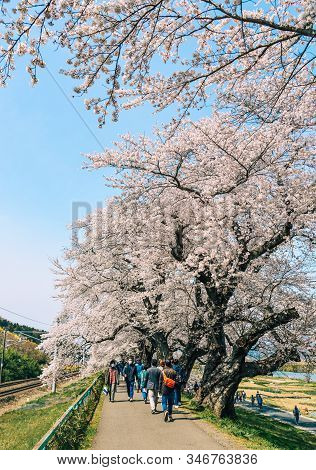 Cherry Blossom At Riverbank Park Of Shiroishi River