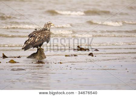 Eagle Fledgling