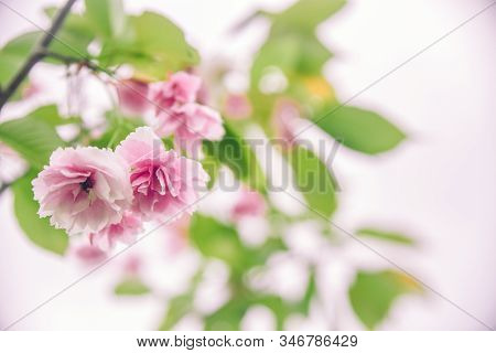 Delicate Pink Blooming Sakura Close-up. Beautiful Abstract Spring Background, Minimal Composition. R