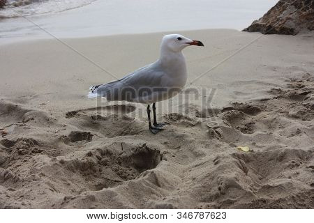 A Specimen Of Snickering Or Crystalline Seagull On The Sandy Beach Has Black Palms, Light Plumage An
