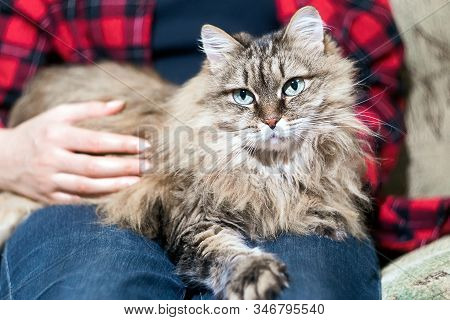 Furry Cat Lying On Its Owners Lap, Enjoying Being Cuddled And Purring